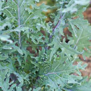 Organic Kale, Red Russian (1/4 lb)