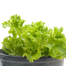 Load image into Gallery viewer, Organic Lettuce, Tango (1/4 lb)