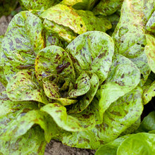 Load image into Gallery viewer, Organic Lettuce, Freckles-in garden