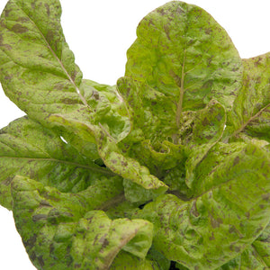 Organic Lettuce, Freckles-close-up