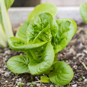 Organic Lettuce, Little Gem