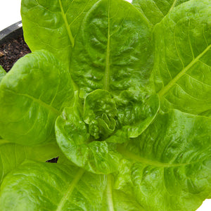 Organic Lettuce, Buttercrunch-close-up
