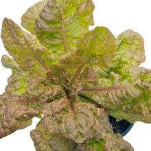 Load image into Gallery viewer, Organic Lettuce, Merveille des 4 Saisons (1/4 lb)