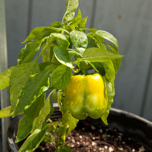 Organic Pepper, Sweet Golden Cal Wonder
