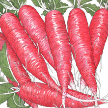 Load image into Gallery viewer, Organic Radish, China Rose
