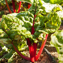 Load image into Gallery viewer, Organic Chard, Red Ruby-in garden