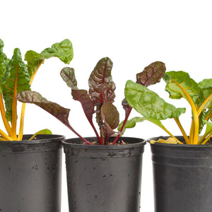Organic Chard, Five Color Silverbeet