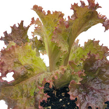 Load image into Gallery viewer, Organic Lettuce, Dark Lolla Rossa (1/4 lb)