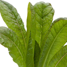 Load image into Gallery viewer, Organic Lettuce, Silvia Red Romaine
