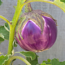 Load image into Gallery viewer, Organic Eggplant, Rosa Bianca (1 oz)