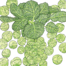 Load image into Gallery viewer, Organic Brussels Sprouts, Darkmar 21
