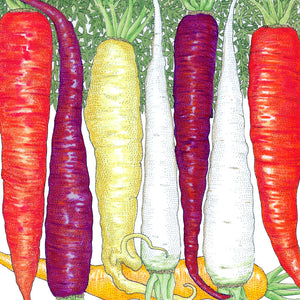 Organic Carrot, Rainbow Mix
