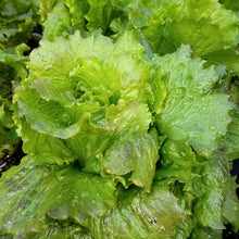 Load image into Gallery viewer, Organic Lettuce, Michelle (1 oz)