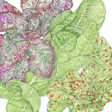 Load image into Gallery viewer, Organic Lettuce, Tricolored Romaine Mix