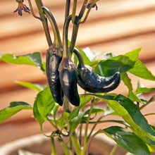Load image into Gallery viewer, Organic Pepper, Black Hungarian