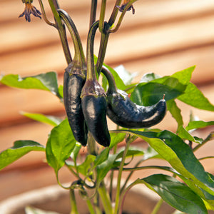 Organic Pepper, Black Hungarian (1 oz)