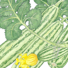 Load image into Gallery viewer, Organic Summer Squash, Cocozelle
