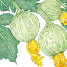 Load image into Gallery viewer, Organic Summer Squash, Ronde de Nice