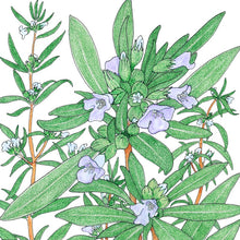 Load image into Gallery viewer, Organic Summer Savory