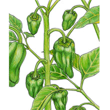 Load image into Gallery viewer, Organic Pepper, Padron