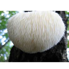 Load image into Gallery viewer, Lion's Mane Mushroom Plug Spawn (100 Plugs/pk)-on a tree