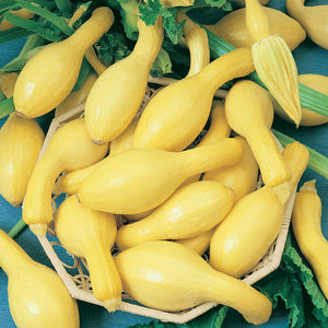 Organic Squash, Summer Early Crookneck-harvest
