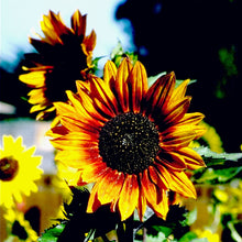 Load image into Gallery viewer, Organic Sunflower, Autumn Beauty (1/4 lb)