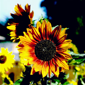 Organic Sunflower, Autumn Beauty (pack)