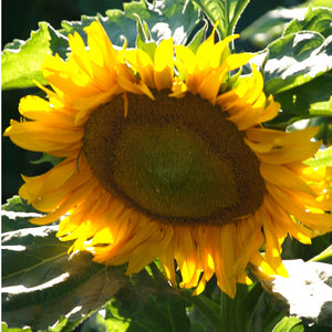 Organic Sunflower, Dwarf Sunspot  (1/4 lb)