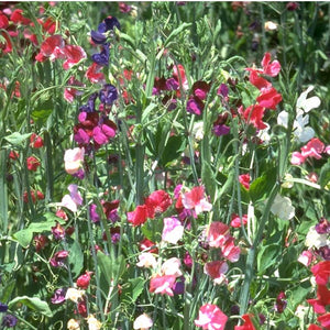 Sweet Pea, Old Spice Mix