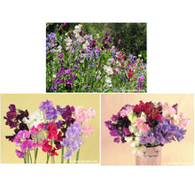 Load image into Gallery viewer, Renee's Garden Sweet Pea, Spencer Ruffled (Heirloom)