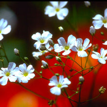 Load image into Gallery viewer, Baby's Breath (1/4 lb)