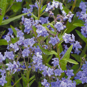 Forget-Me-Not, Chinese (1/4 lb)