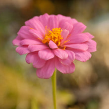 Load image into Gallery viewer, Zinnia, California Mix (1/4 lb)
