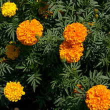 Load image into Gallery viewer, Marigold, African (1/4 lb)