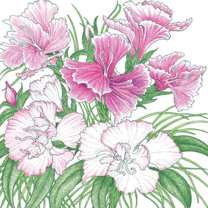 Sweet William (pack)