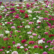 Load image into Gallery viewer, Sweet William (1/4 lb)
