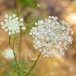 Queen Anne's Lace (pack)