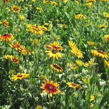 Load image into Gallery viewer, Daisy, Gloriosa (1/4 lb)