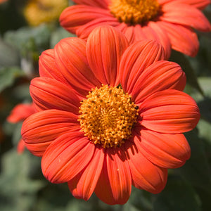 Mexican Sunflower (1/4 lb)