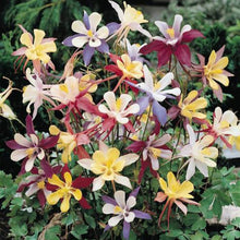"Load image into Gallery viewer, Columbine, ""McKana's Giant Mix"" (pack)"
