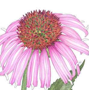Coneflower, Black Sampson (pack)