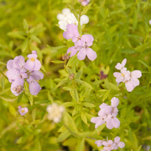 Load image into Gallery viewer, Candytuft, Dwarf (pack)