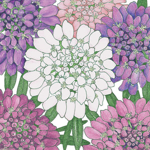 Candytuft, Dwarf (pack)