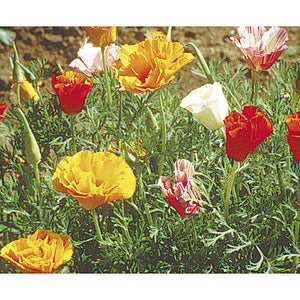California Poppy, Mission Bells (lb)