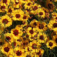 Load image into Gallery viewer, Coreopsis, Plains (pack)