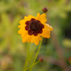 Coreopsis, Plains (pack)
