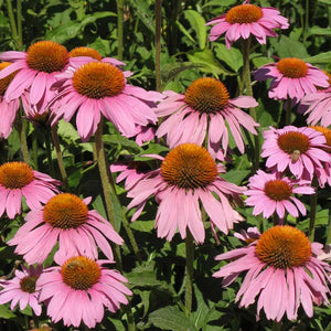 Coneflower, Purple (lb)