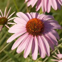 Load image into Gallery viewer, Coneflower, Purple (1/4 lb)