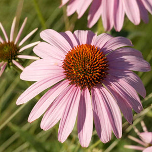 Coneflower, Purple (pack)